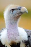 Condor Images libres de droits