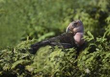 condor royalty-vrije stock foto