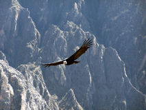 Condor Foto de Stock Royalty Free