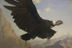 Condor. In Flight royalty free stock photography