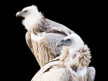 Condor Fotografie Stock