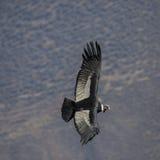 condor Imagem de Stock Royalty Free