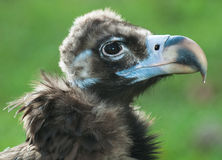 Condor Stock Images