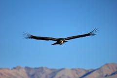 Condor adulte femelle volant au-dessus des montagnes Photo stock