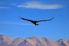 Condor adulte femelle volant au-dessus des montagnes Photo libre de droits
