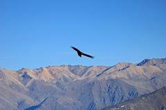 Condor adulte femelle volant au-dessus des montagnes Photos stock