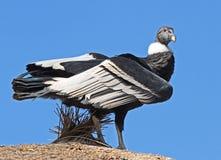 Condor. Andean Condor Close Up Portrait royalty free stock images