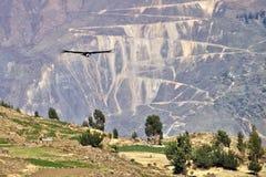 Condor Andes Imagens de Stock Royalty Free