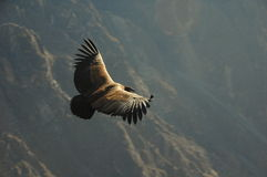 Condor andin Photographie stock libre de droits