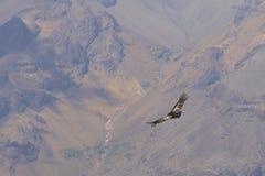 Condor andin - Chili photographie stock libre de droits