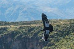 Condor andin en vol photographie stock