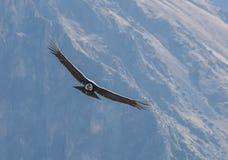 Condor andin en vol image libre de droits