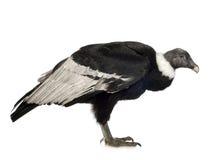 Condor andin - gryphus de Vultur (15 ans) Photos stock