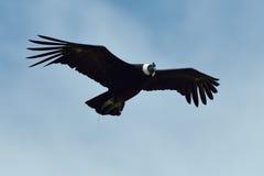 Condor andin (gryphus de Vultur) photographie stock libre de droits