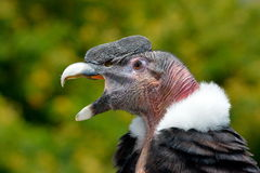 Condor andin (gryphus de Vultur) photo libre de droits