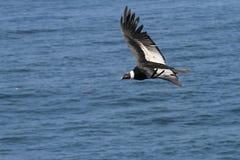 Condor andin volant au-dessus de l'océan pacifique photographie stock