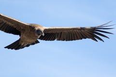 Condor andino Imagem de Stock
