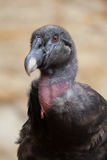 Condor andino fotografie stock libere da diritti
