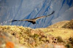 Condor andino Immagini Stock Libere da Diritti