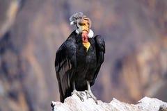 Condor andino che si siede a Mirador Cruz del Condor in canyon di Colca Fotografie Stock Libere da Diritti