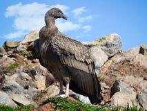 Condor andino giovanile Fotografie Stock Libere da Diritti