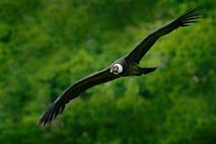 Condor andino, gryphus do Vultur, pássaros grandes do voo da rapina acima da montanha Abutre na pedra Pássaro no habitat da natur fotos de stock royalty free