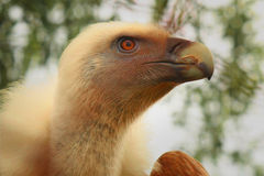 Condor as a symbol of strength and predator. (fragment Royalty Free Stock Image