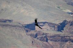 Condor au-dessus de gorge grande Images stock