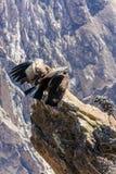 Condor bij Colca-canionzitting, Peru, Zuid-Amerika. Dit is een condor de grootste vliegende vogel stock afbeelding