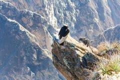 Condor bij Colca-canionzitting, Peru, Zuid-Amerika. Dit is een condor de grootste vliegende vogel stock afbeeldingen