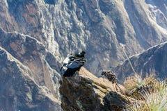 Condor bij Colca-canionzitting, Peru, Zuid-Amerika. Dit is een condor de grootste vliegende vogel royalty-vrije stock foto