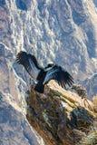 Condor bij Colca-canionzitting, Peru, Zuid-Amerika. Dit is een condor de grootste vliegende vogel stock foto's