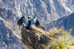 Condor bij Colca-canionzitting, Peru, Zuid-Amerika. Dit is een condor de grootste vliegende vogel royalty-vrije stock fotografie