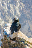 Condor bij Colca-canionzitting, Peru, Zuid-Amerika. Dit is een condor de grootste vliegende vogel royalty-vrije stock afbeelding