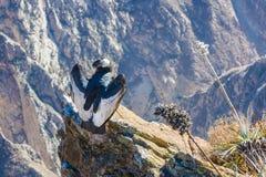 Condor bij Colca-canionzitting, Peru, Zuid-Amerika. Dit is een condor de grootste vliegende vogel stock foto