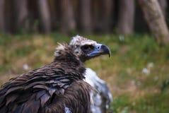Condor bird portrait  Stock Images