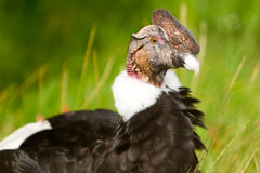 Condor Close Up Stock Photography