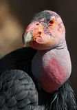 Condor Royalty Free Stock Images