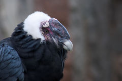 Condor closeup Royalty Free Stock Photo