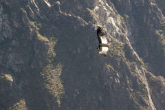 Condor at the Colca canyon Royalty Free Stock Photo