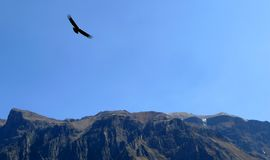 Condor at Colca Canyon, Peru Stock Image
