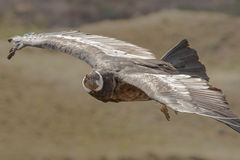 Condor crescente Fotos de Stock Royalty Free
