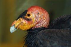Condor de Califórnia fotografia de stock
