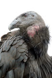 Condor de Californie images libres de droits