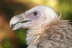 Condor dell'aquila Fotografia Stock