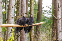 Condor della California Fotografie Stock
