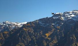 Condor des Andes dans le canyon de Colca, Pérou image libre de droits