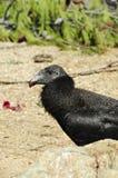Condor di California Immagini Stock