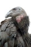 Condor di California Immagini Stock Libere da Diritti