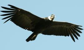 Condor die in de blauwe hemel vliegen royalty-vrije stock afbeelding